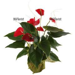 Send Anthurium pot plant by courier to Sofia