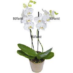 Доставка на бяла орхидея с два цветоноса