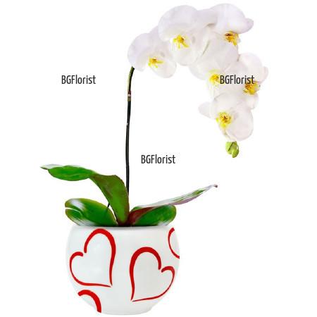 Доставка на бяла орхидея в саксия в София